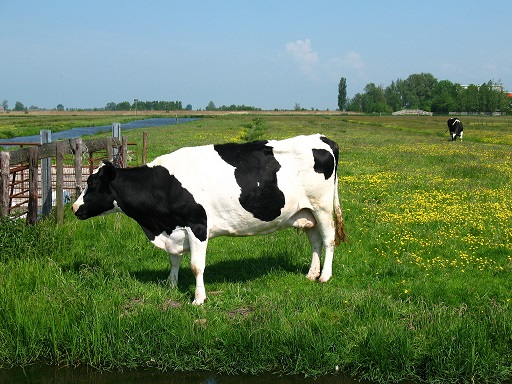 cow_meadow