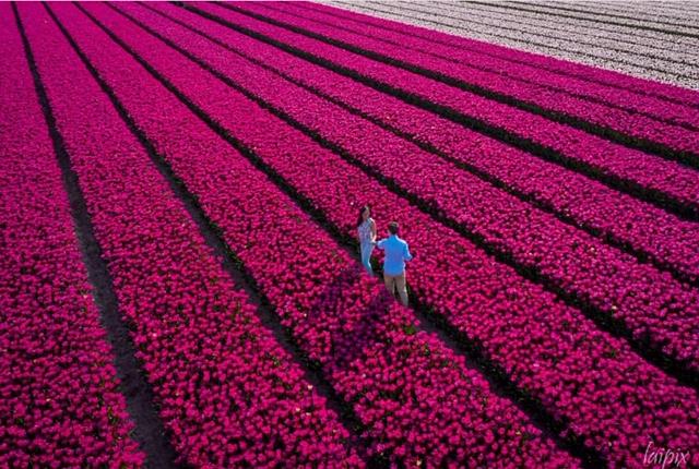 tulipfields_keukenhof